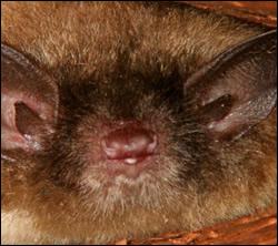 Citrus Park bat removal