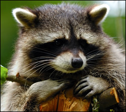 Citrus Park raccoon removal